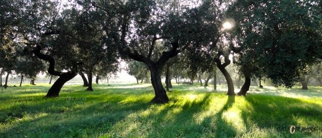 Abruzzo olive tree