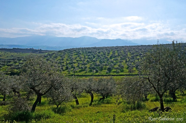 olive groves of Loreto Aprutino